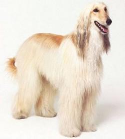 Афганская борзая собака - грациозная и гордая