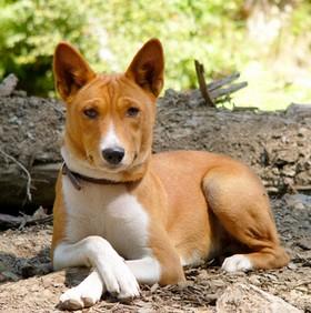 Басенджи (особенности породы собаки)
