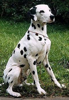 Далматин – красивая и выносливая порода собак
