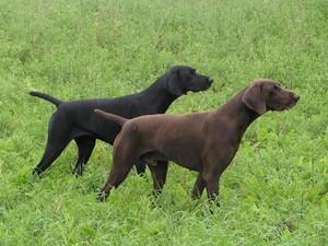 Порода собак курцхаар
