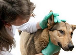 Лечении воспаления ушей у собаки