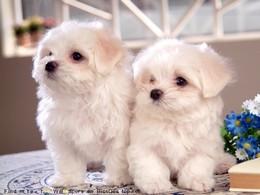 Собачки, высота которых в холке 15-30 см