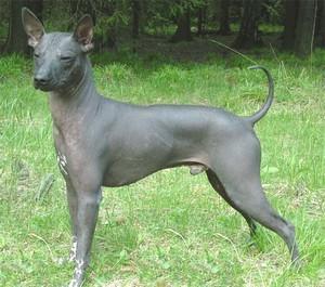 Мексиканская голая собака, порода ксолоитцукинтли