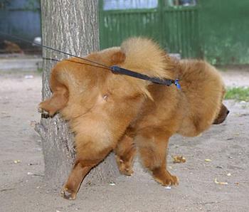 мочеиспускание в знак покорности у собак