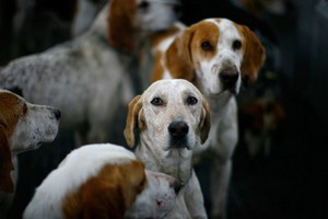 Охота с гончими собаками