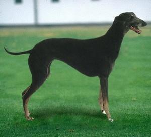 Рампурская борзая собака