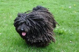 Самая необычная порода собак - пули