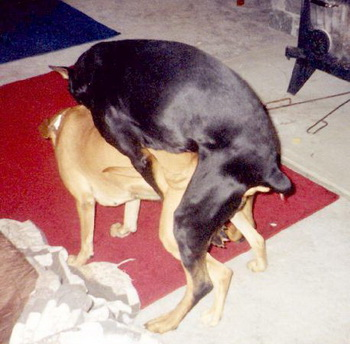 Спаривание собак