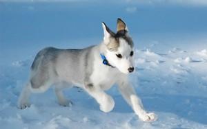 Топ 10 самых дорогих пород собак