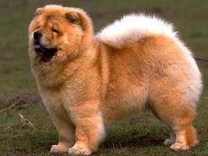 Уход и питание за собаками крупных пород